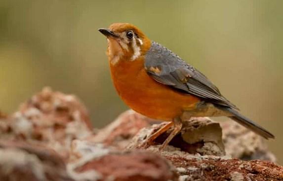 8-Perawatan-Burung-Anis-Kembang-Biasa-Untuk-Burung-Aduan-dan-Peliharaan